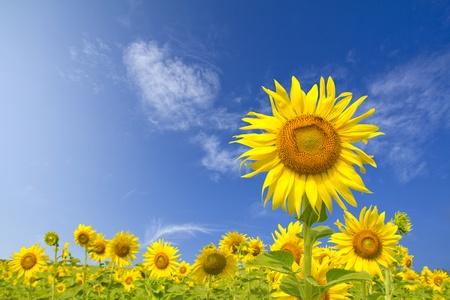 zonnebloem: Sunflower