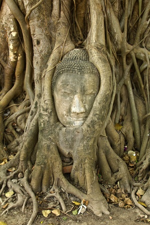 stone buddha head in the tree roots, Ayutthaya is old capital of Thailand  photo