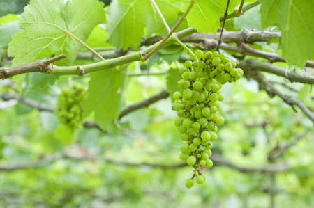 Green grape under the sunlight Stock Photo - 9375425