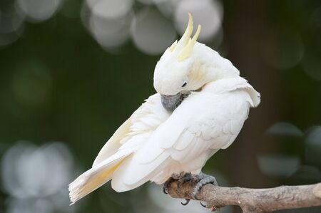 Yellow-crested Cockatoo (Cacatua sulphurea)  photo