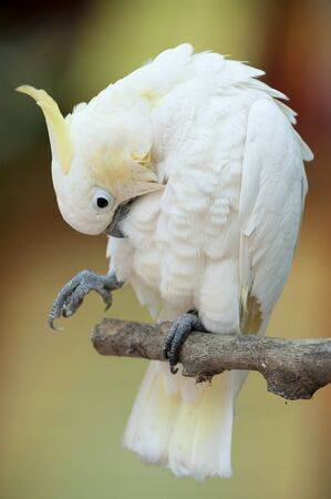 Yellow-crested Cockatoo (Cacatua sulphurea)  photo