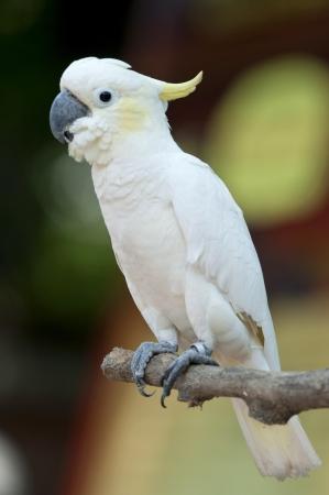 loros verdes: Cacat�a de copete amarillo (Cacatua sulphurea)