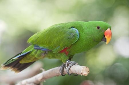 parakeet: Parakeet,  Stock Photo