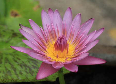 Pink lotus blossoms or water lily flowers blooming on pond  photo