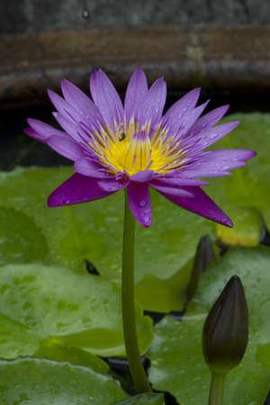 Beautiful pink lotus background photo