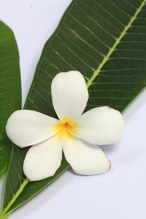 Leelavadee (Plumeria), tropical flower  Stock Photo - 9848026