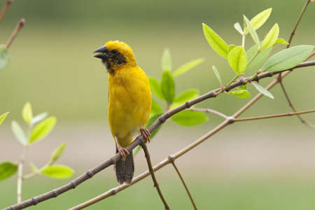 weaver bird: Asian Golden weaver bird