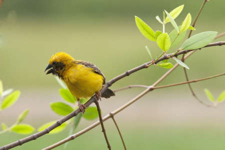 Asian Golden weaver bird  photo