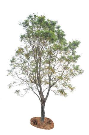 backgruond: Tree on white backgruond