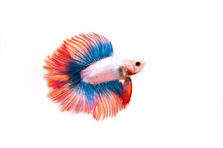 siamese fighting fish: Capture the moving moment of Betta fish,Siamese fighting fish in movement isolated on white background. Stock Photo