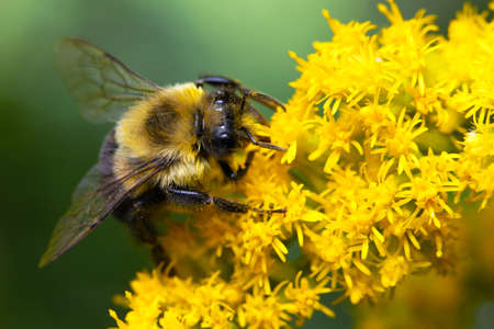 A bumblebee collection pollen from a goldenrod plant