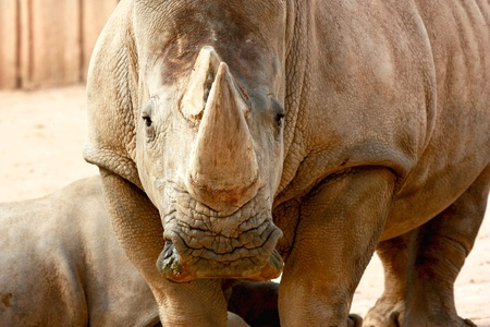 extintion: Rhinoceros