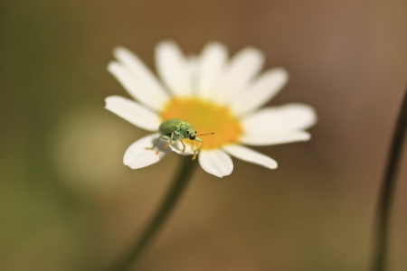 Phyllobius feeding on a white and yellow daisy  photo