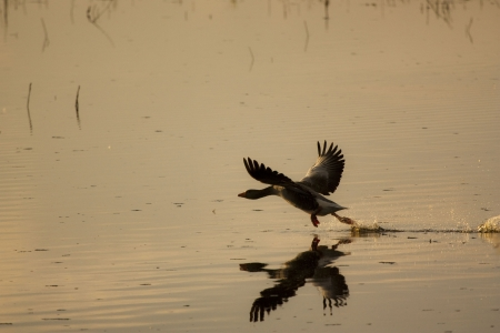 Goose tracing the flight over a lagoon in Las Tablas de Daimiel National Park, Spain  photo