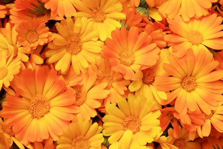 Flowers of a herb of a calendula close up Stock Photo