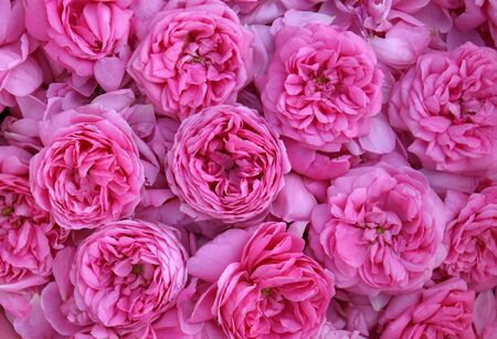 considerable: Pink roses and petals of roses in a considerable quantity