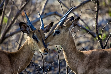 savana: two black faced impala in Etosha National park