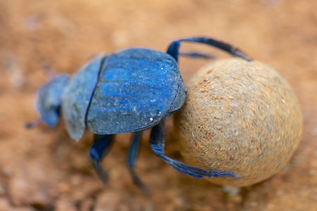 dung: dung beetle making a dung ball in south africa