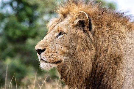 male portrait: portrait of a male lion Stock Photo