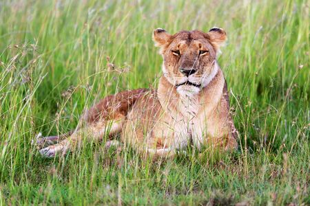 lioness: lioness masai mara Stock Photo