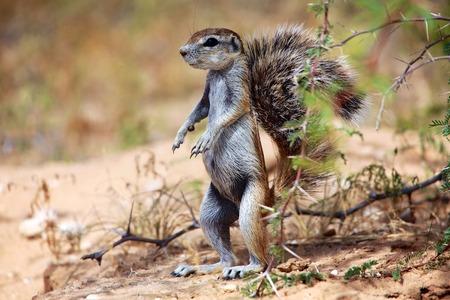 kgalagadi: ground squirrel at kgalagadi Stock Photo