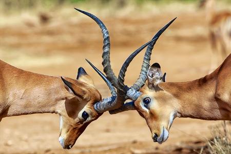 samburu: impalas fighting at samburu Stock Photo