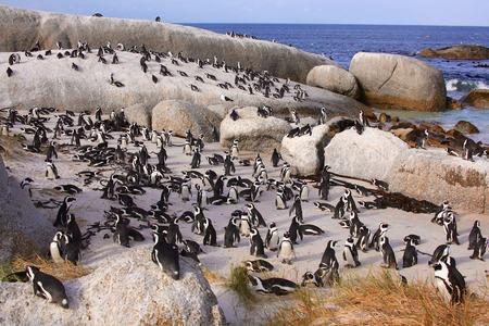 penguins on beach: penguins boulder beach Stock Photo