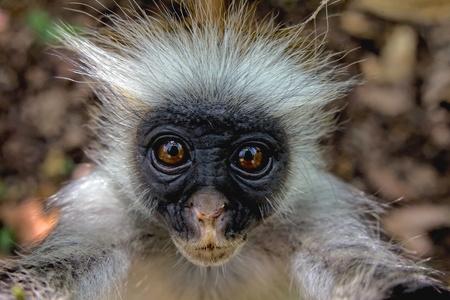 zanzibar: red colobus monkey zanzibar Stock Photo