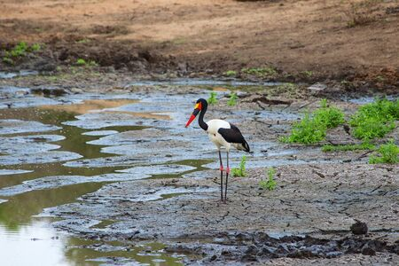 billed: saddle billed stork in a dry waterhole Stock Photo
