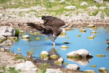 waterhole: martial eagle in a waterhole Stock Photo