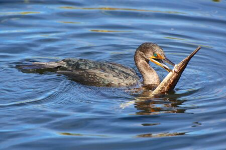 everglades: a bird with a fish in the mouth in everglades