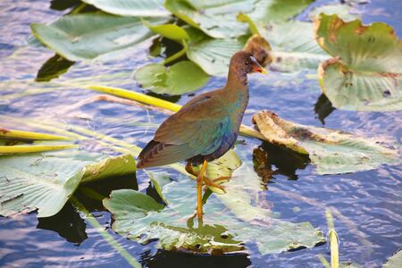 Everglades national park: gallinule in everglades national park Stock Photo
