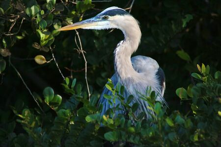 great blue heron everglades