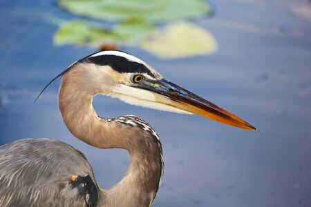 bue: great bue heron close-up