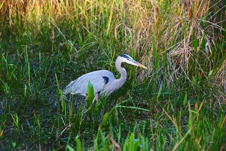 everglades: great blue heron fishing everglades