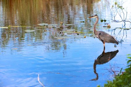 Everglades national park: great blue heron fishing at everglades national park