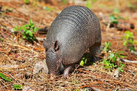 Everglades national park: armadillo near everglades national park Stock Photo