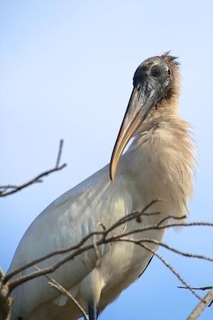 everglades: beautiful wood stork at everglades