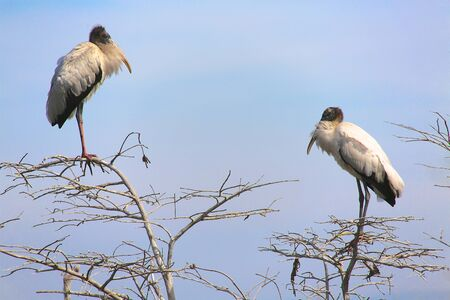 everglades: word storks in trees at everglades Stock Photo
