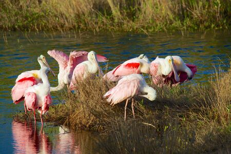 roseate: roseate spoonbill meeting at everglades Stock Photo