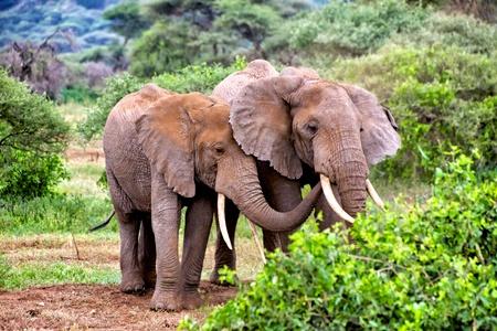 tanzania: elephants in tarangire park tanzania Stock Photo