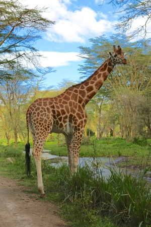 girafe: girafe at nakuru lake national park Stock Photo
