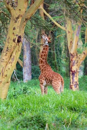 girafe: girafe in the forest kenya Stock Photo