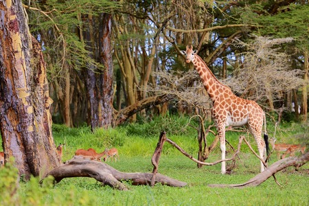 girafe: girafe looking at me Stock Photo