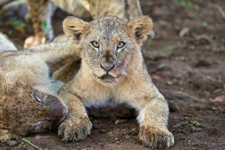 lion cub: lion cub looking at me