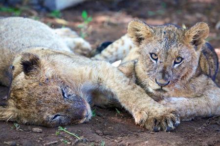 cachorro: Que tienen dos leones resto cachorro
