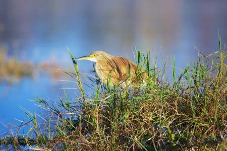 wild silky white: squacco heron fishing at nakuru