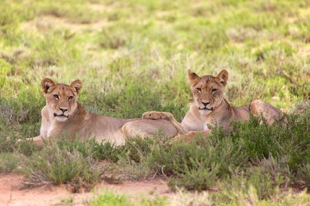kgalagadi: two young lionesses at kgalagadi national park Stock Photo