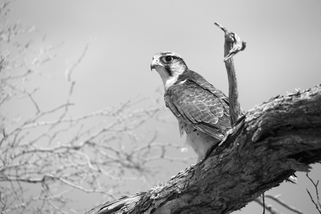 lanner: beautiful lanner falcon on a tree at kgalagadi