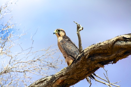 lanner: lanner falcon on a tree at kgalagadi national park Stock Photo